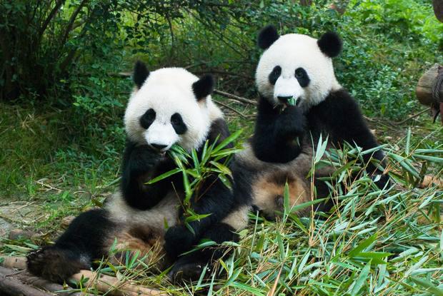 Nace primer panda en zool gico de jap n luego de 24 a os - Image de panda a imprimer ...